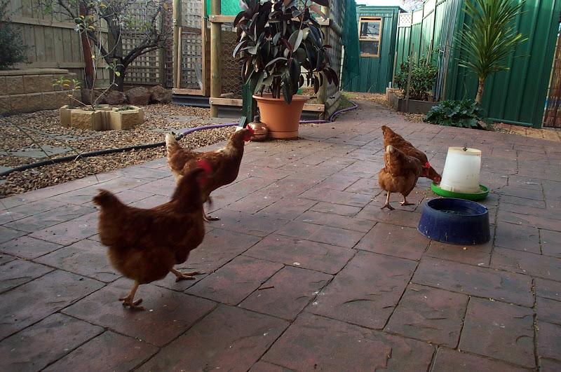 Chicken Hygiene - free ranging