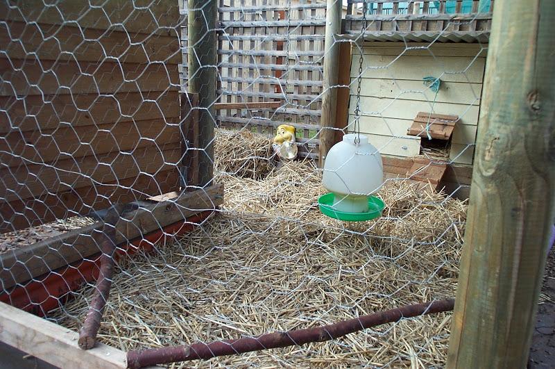Chicken Hygiene - Deep litter 2