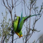 Superb+Parrot+closeup
