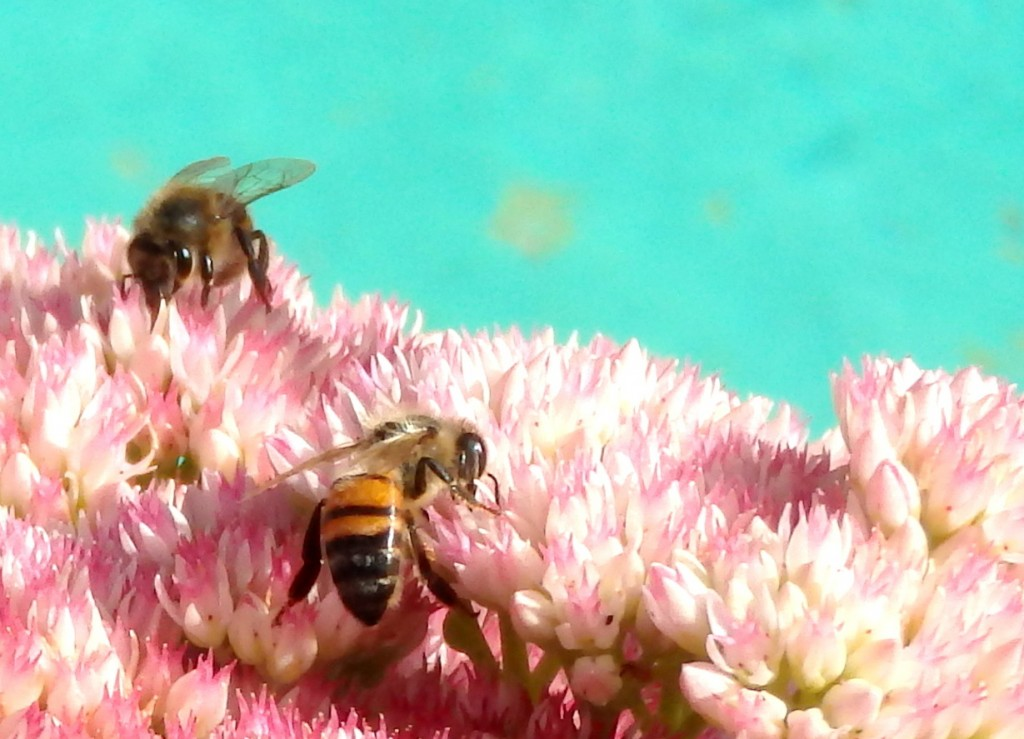 Two European Honey Bees on Sedum