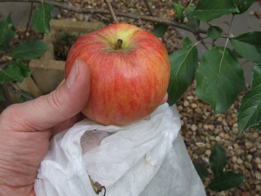 Home grown Jonathan Apple with protective bag