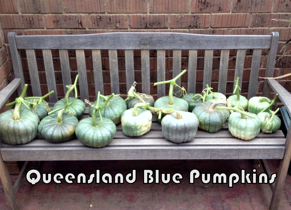 Queensland Blue Pumpkins 2014
