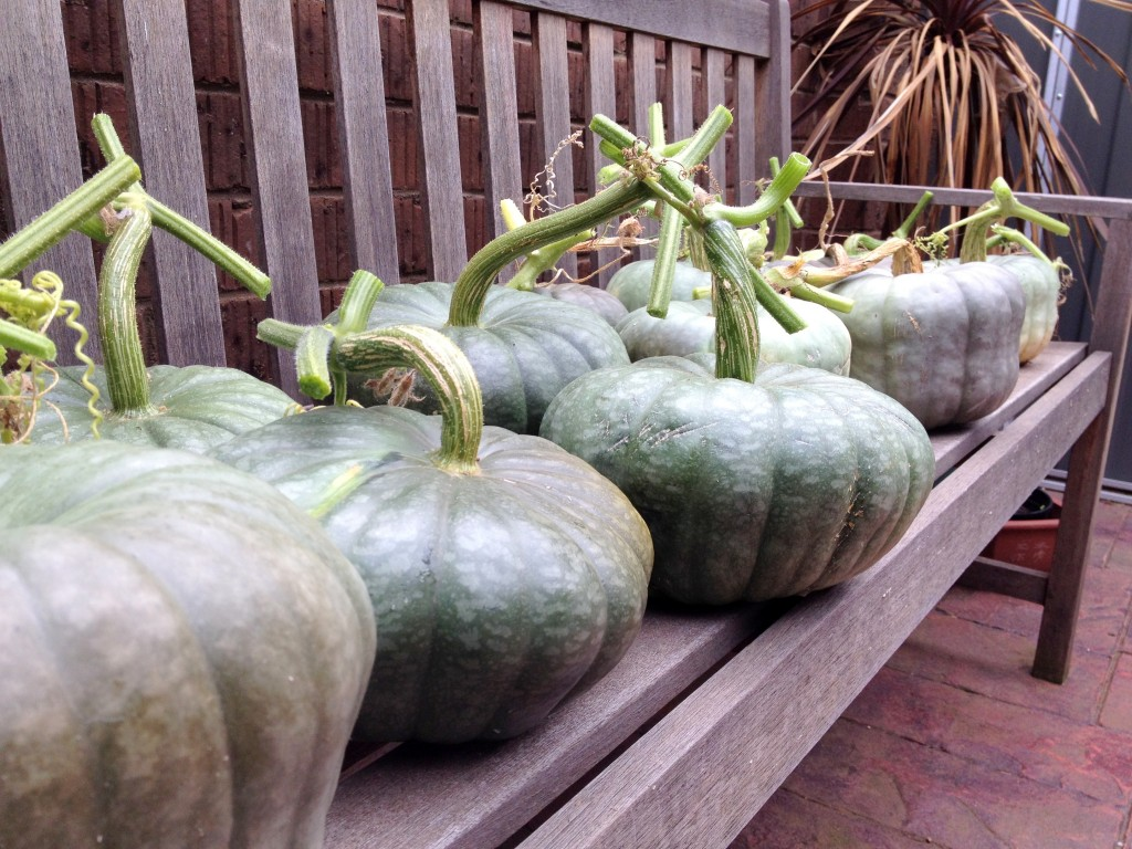Harvested Queensland Blue Pumpkins