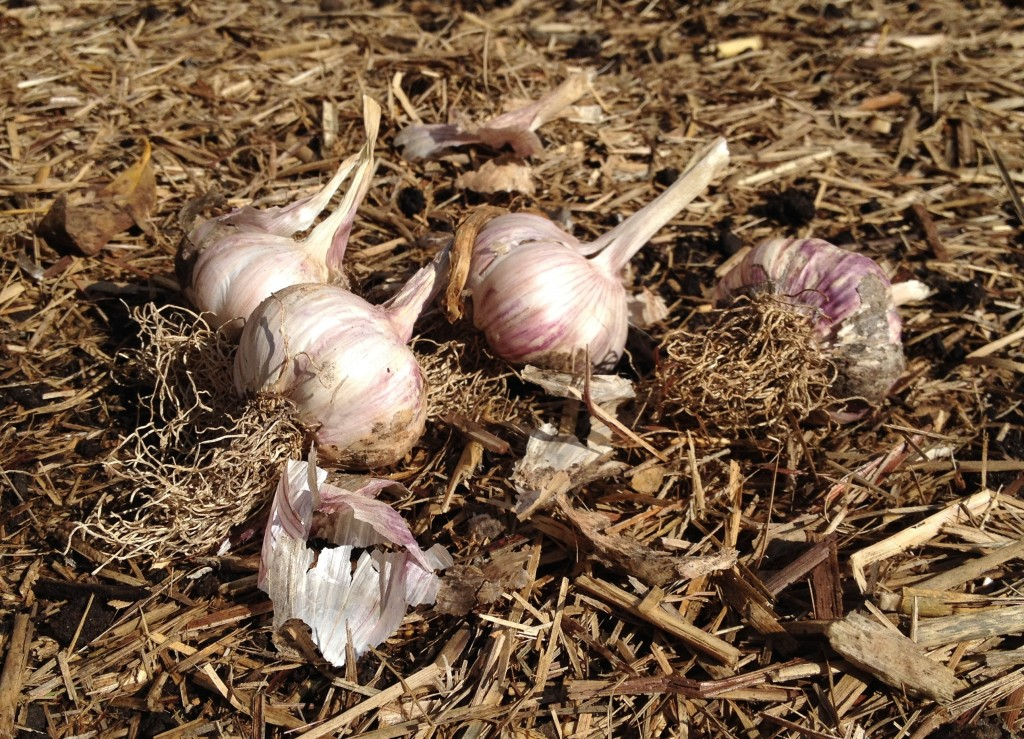 Australian Purple Garlic ready to plant