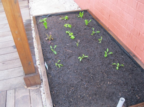 Wicking bed planted with lettuce varieties