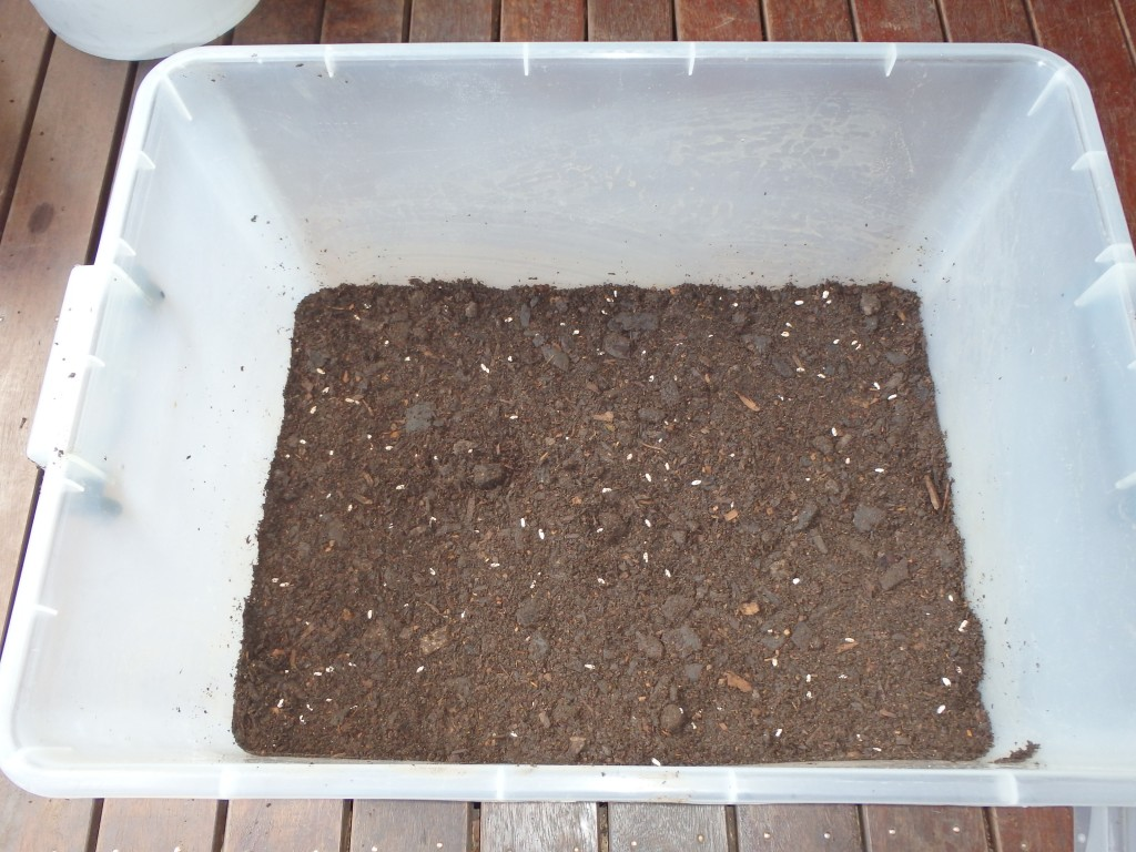 Mixing spawn into cow manure