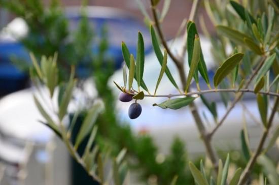 Barnea olives