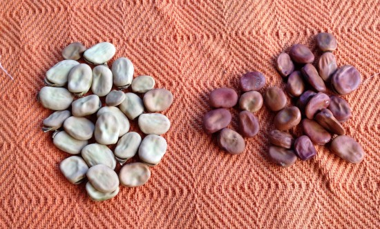 Saved Seed vs Commercial Seed