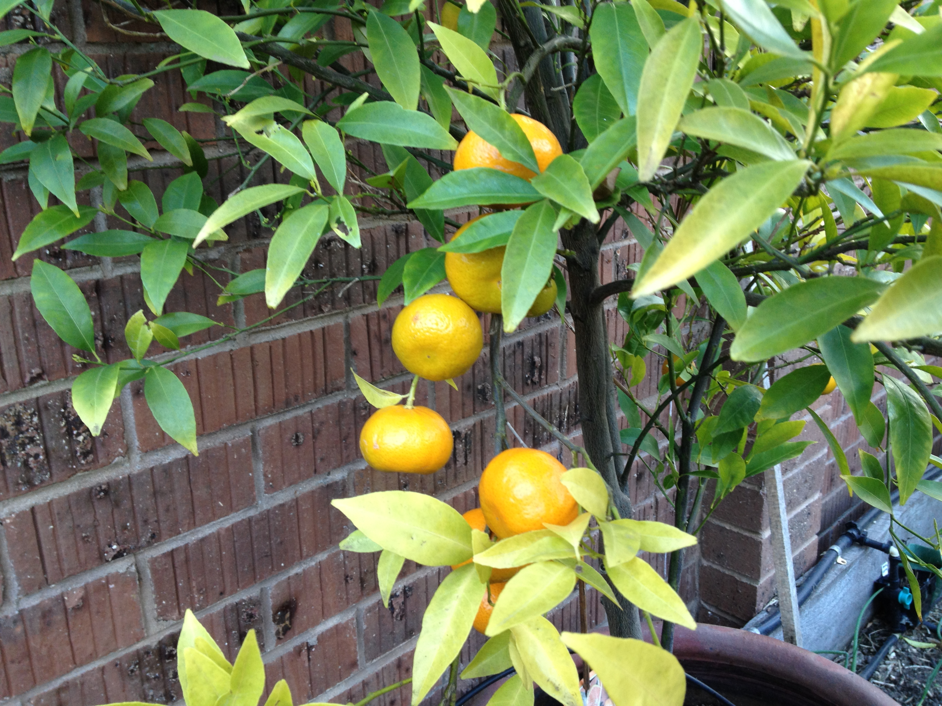 Peeing on a lemon tree