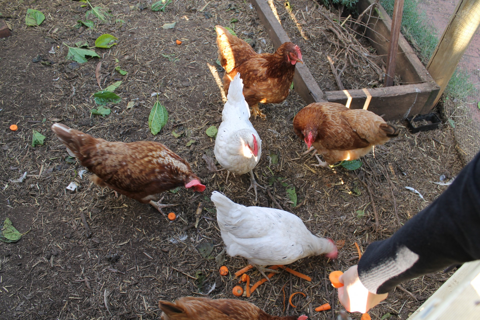 4 ways that keeping backyard chickens has changed my life the