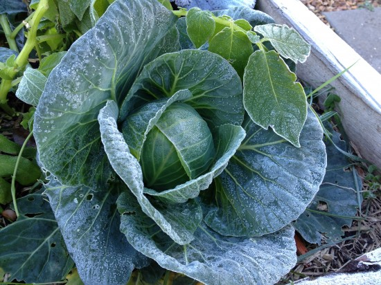 Frosty Sugarloaf Cabbage