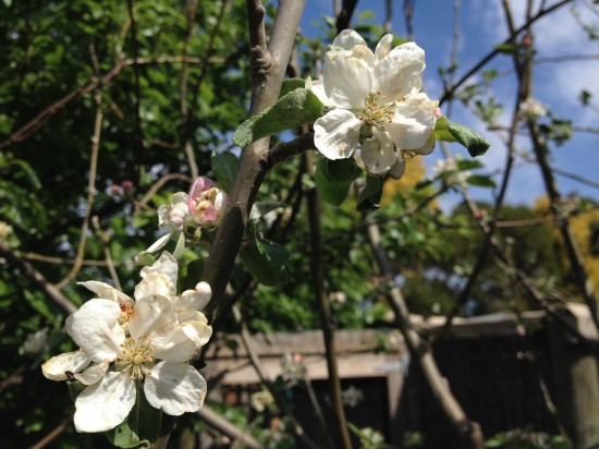Jonathan Apple Blossom