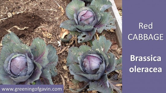 How to Grow Cabbages