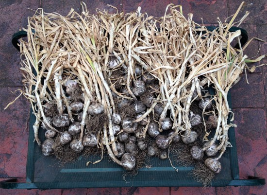 Garlic Harvest 2014