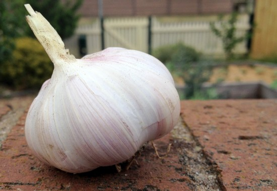 Garlic harvest 2014 - Australian Purple Garlic