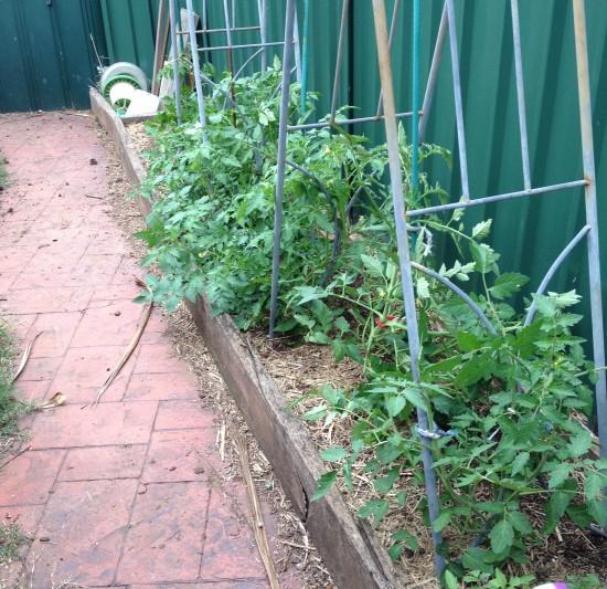 Suburban Food Farm - December 2014 - Chicken garden Tomatoes