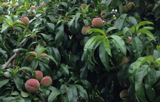 ANZAC Peaches - summer fruit