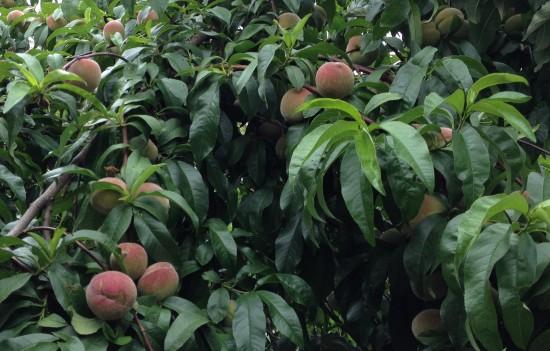 ANZAC Peaches - summer fruit