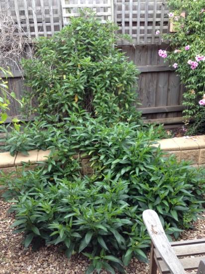 Pepino bush