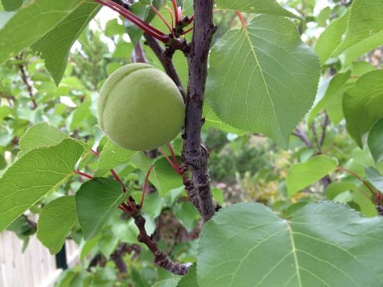 Divinity Apricots - summer fruit