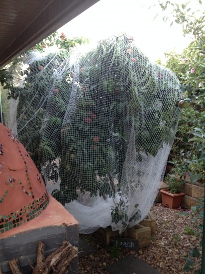 ANZAC Peaches netted
