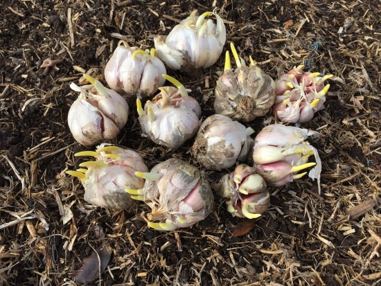 Planting Australian Purple Garlic