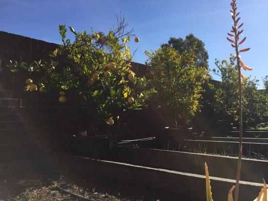 Winter solstice - citrus trees