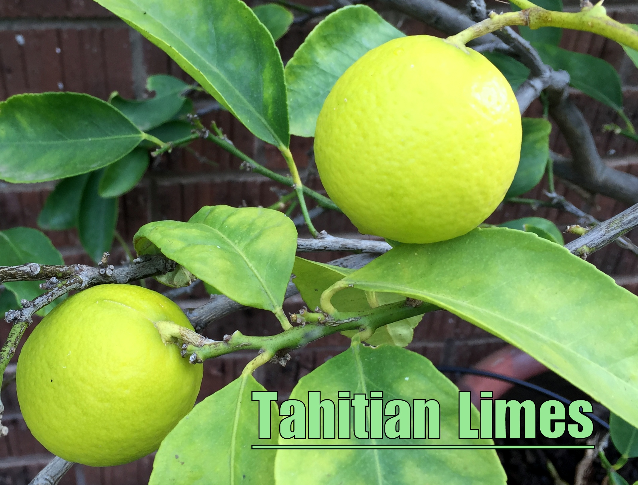 Our Tahitian Lime Tree Always Has A Few Fruit On It Most Of The Year Round Great In Key Pie Pickles And Cerveza