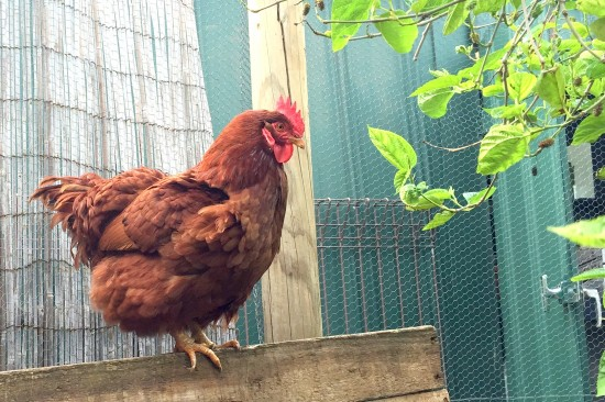Bunty Chicken
