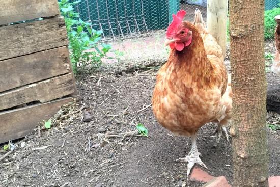 Chooky Chicken