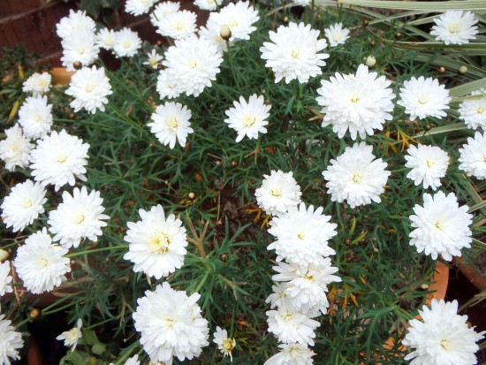 Spring Flowers - White Daisies