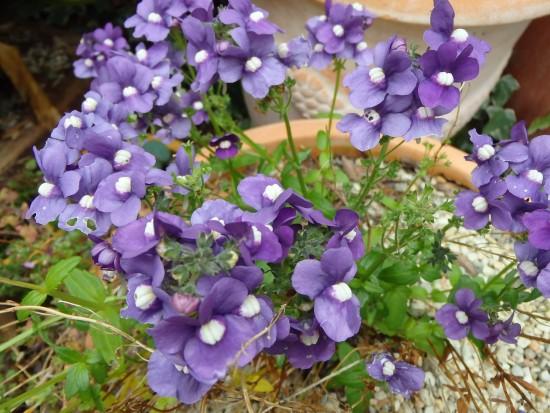 Spring Flowers - Violet