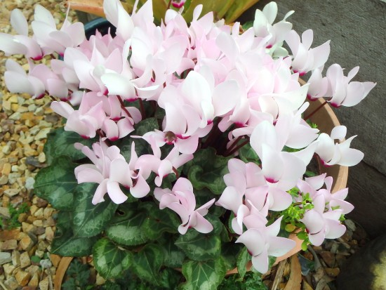 Spring Flowers - Pink Cyclamens