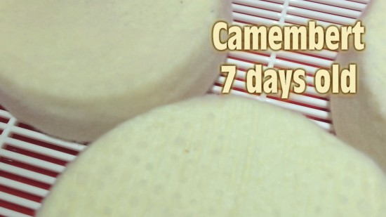 Camembert 7 days old