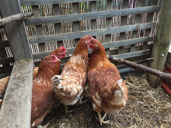 When your old chickens stop laying - New flock of ISA Brown hens