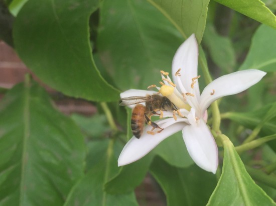 Bee pollinating a lemon flower